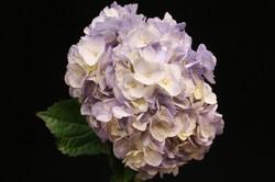 Hydrangea - spray purple