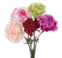 Carnation - mixed