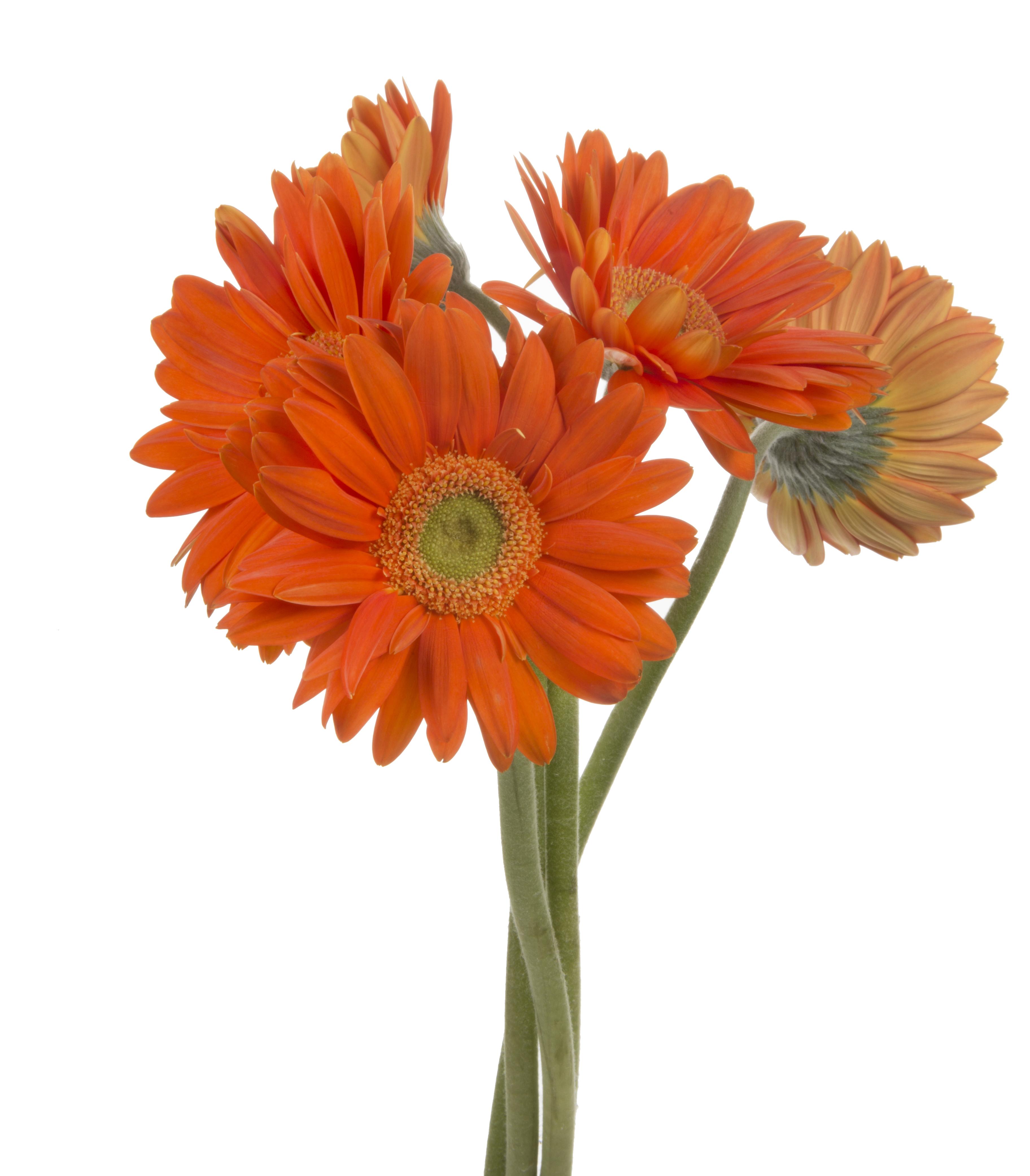 Gerbera - orange 5 stems