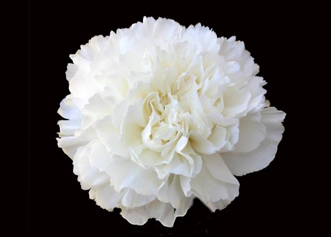 Brisa - white