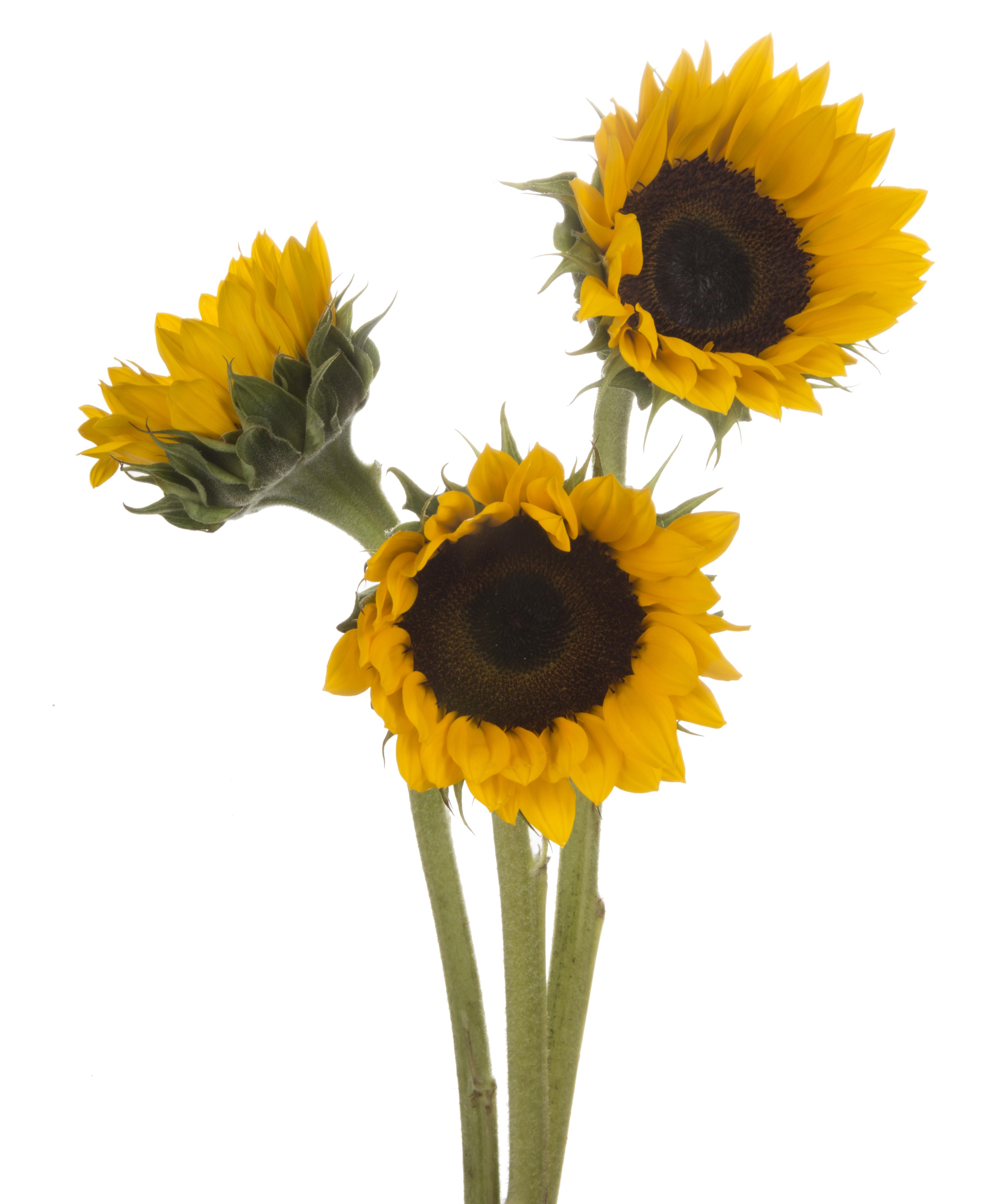 Sunflower - 3 stems
