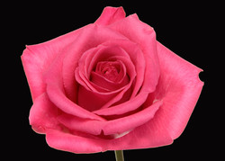 Taiga - dark pink
