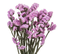 Statice - lavender
