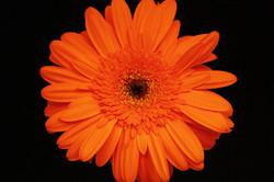 Marinilla - orange