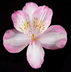 Kurosawa - bicolor pink