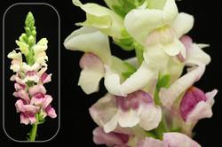 Bicolor White-Purple Snapdragon