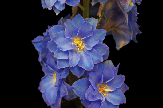Elatum - dark blue