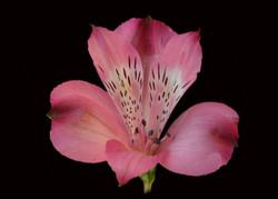 Hercules - dark pink
