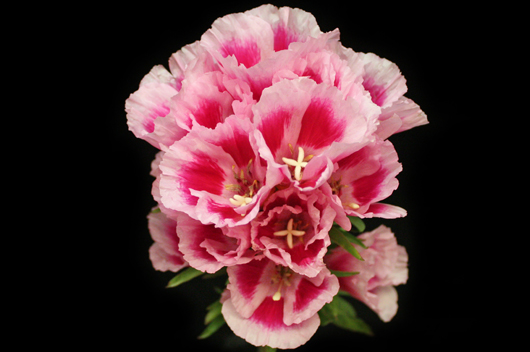 Pink Godetia