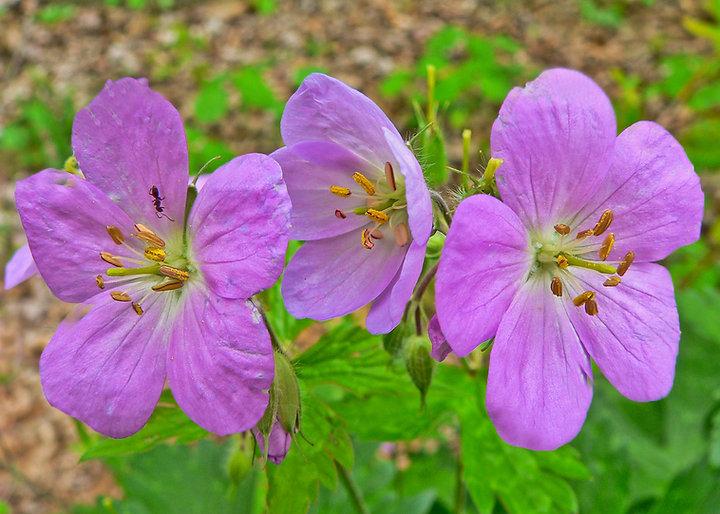 wood geranium 2.jpg