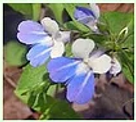 blue-eyed mary.png