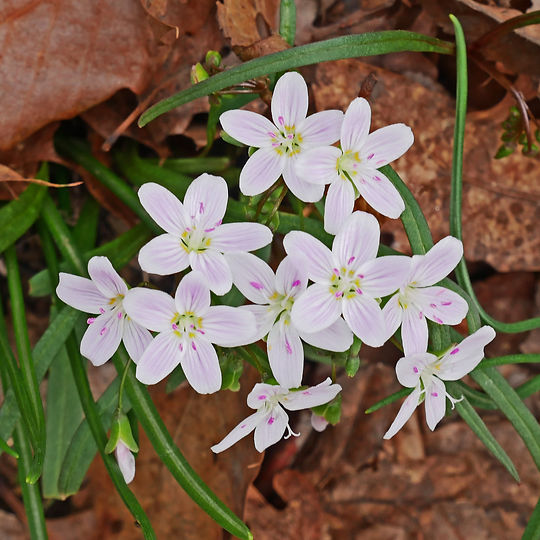 spring beauty 2.jpg