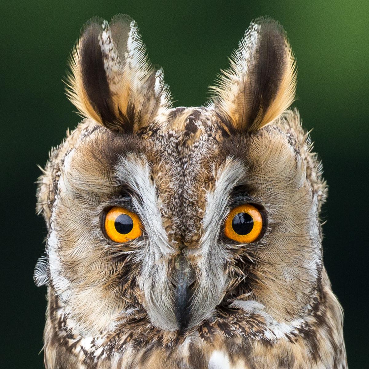 PDI - Long Eared Owl by Nigel Bell (12 marks)