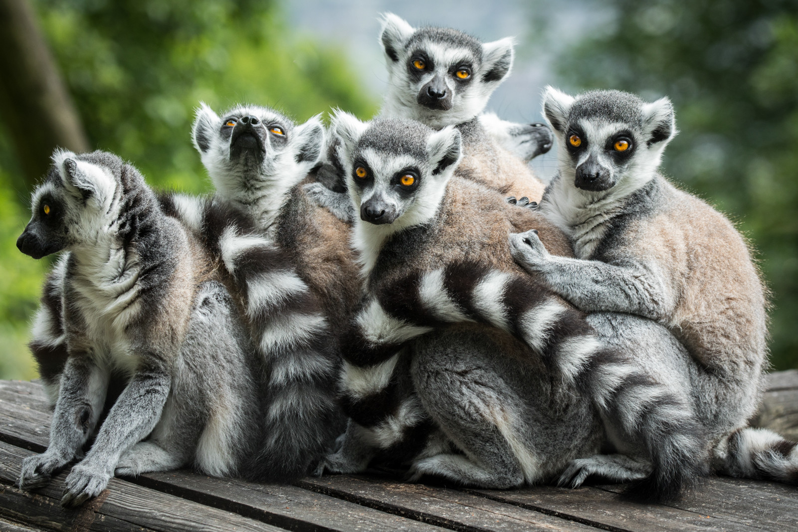 PDI - Ring Tailed Lemurs by Nigel Bell (9 marks)