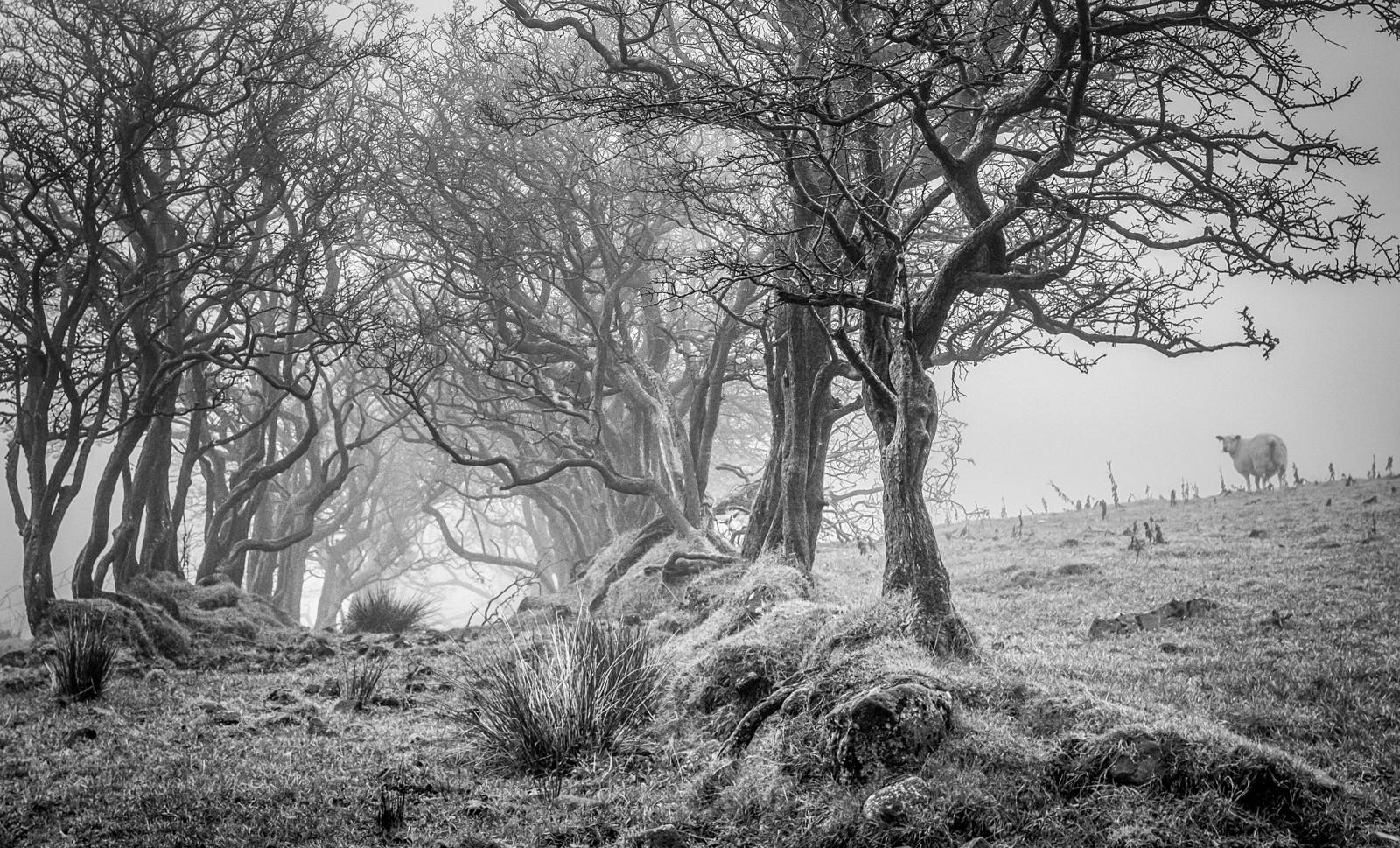 MONO - Misty Sheep by Nigel Bell (8 marks)