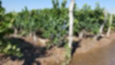 Cabrini Wines - Ugarteche Vineyard.