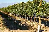 Cabrini Wines - Bodega Cabrini. Viñedo El Cepillo.