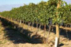 Cabrini Wines - El Cepillo Vineyard.