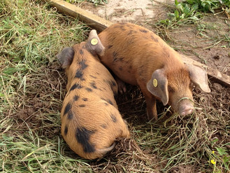 Oxford Sandy & Black Weaners.