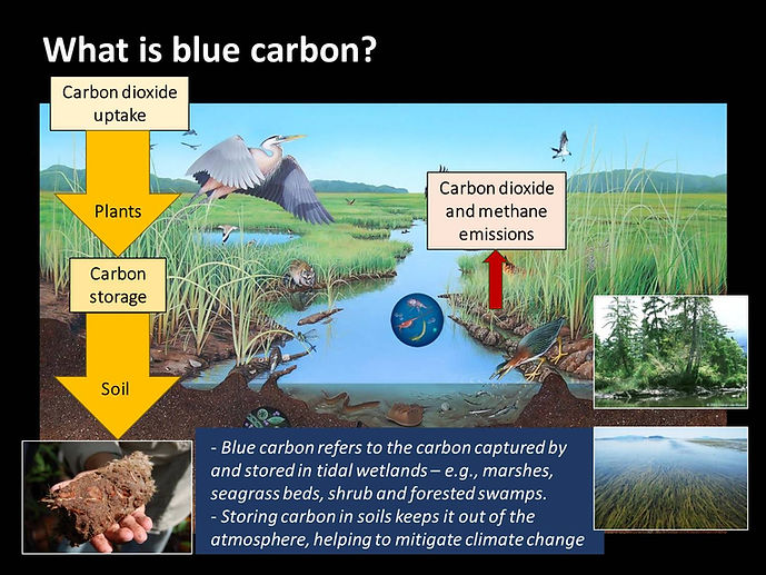 What Is Blue Carbon Graphic.jpg