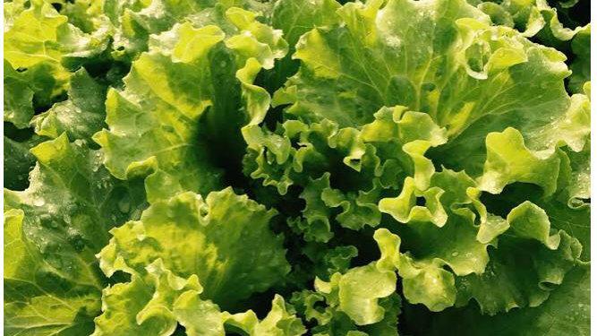 Living Lettuce (Green Crisp)