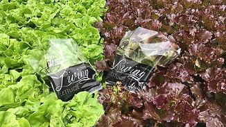 Living Lettuce.jpg