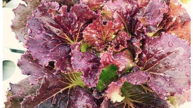 Living Lettuce (Red Crisp)