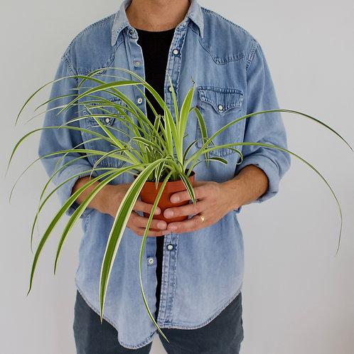 Chlorophytum Comosum 'Variegatum' / Spider Plant