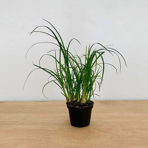 Beaucarnea Recurvata - Ponytail Palm