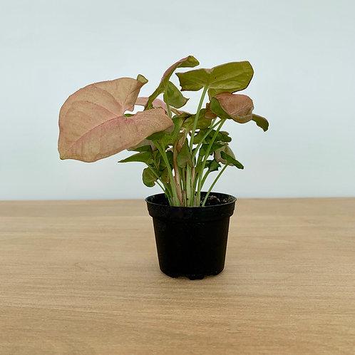 Syngonium Neon Robustica- 'Arrowhead vine'