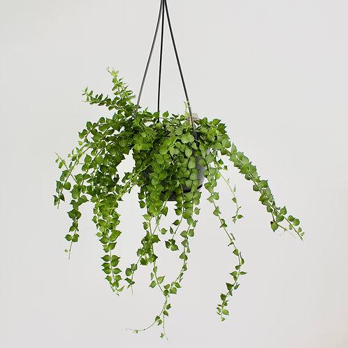 Dischidia Ruscifolia / Million Hearts Plant