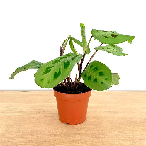 Maranta Leuconeura - Green Prayer Plant