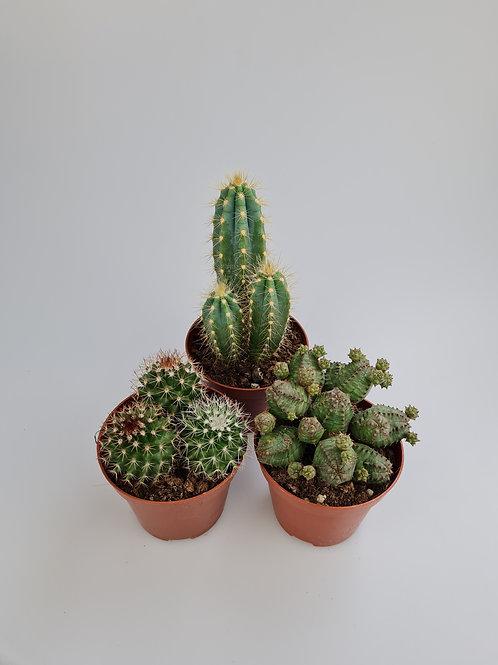 Medium Cactus triple pack