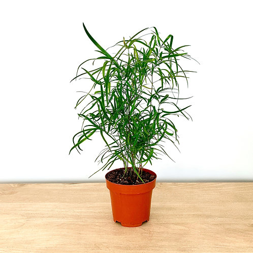Asparagus Falcatus / Sicklethorn