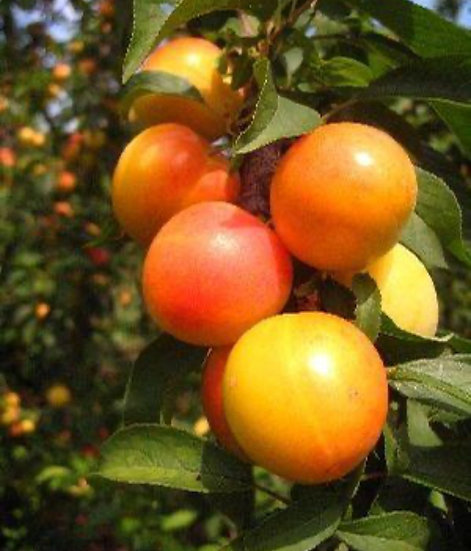 Early Gold Plum