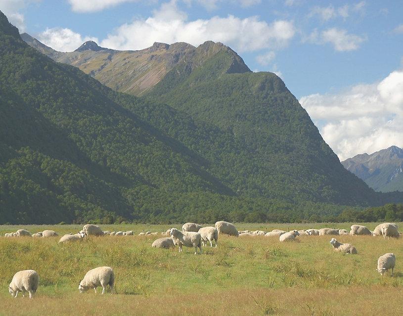 羊 .jpg
