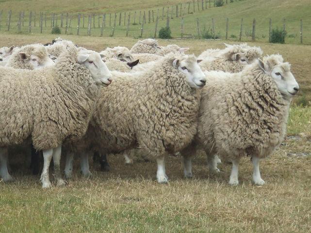 羊3.JPG