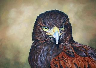 Harris Hawk in pastel