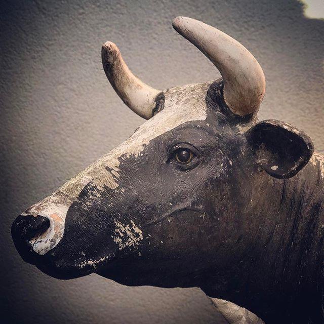 GEERTJE l #koeiesteyn #koe #cows #love #rockanje #rebel #portrait #silencebeforethestorm
