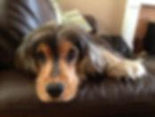 Jasper at the Cambridge Dog Lodge.
