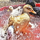 The Cambridge Dog Lodge ducks.