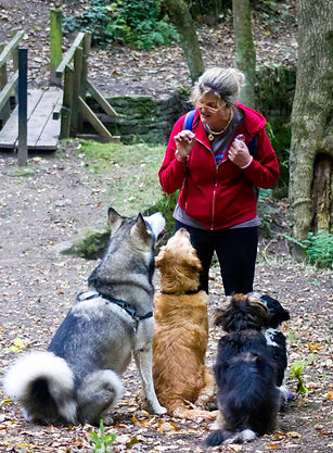 Georgia out with the dogs, a typical day for The Cambridge Dog Lodge.