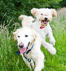 Dylan and George out for a walk with The Cambridge Dog Lodge.