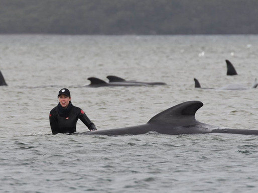 Whales May Have Followed Leader to Mass Death