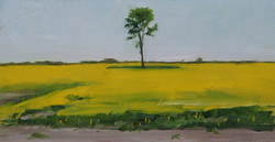 Lone tree in Canola