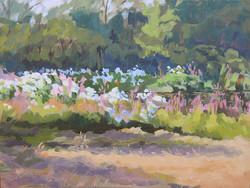 Parsonage Pond; Swamp Rose Mallows #1,