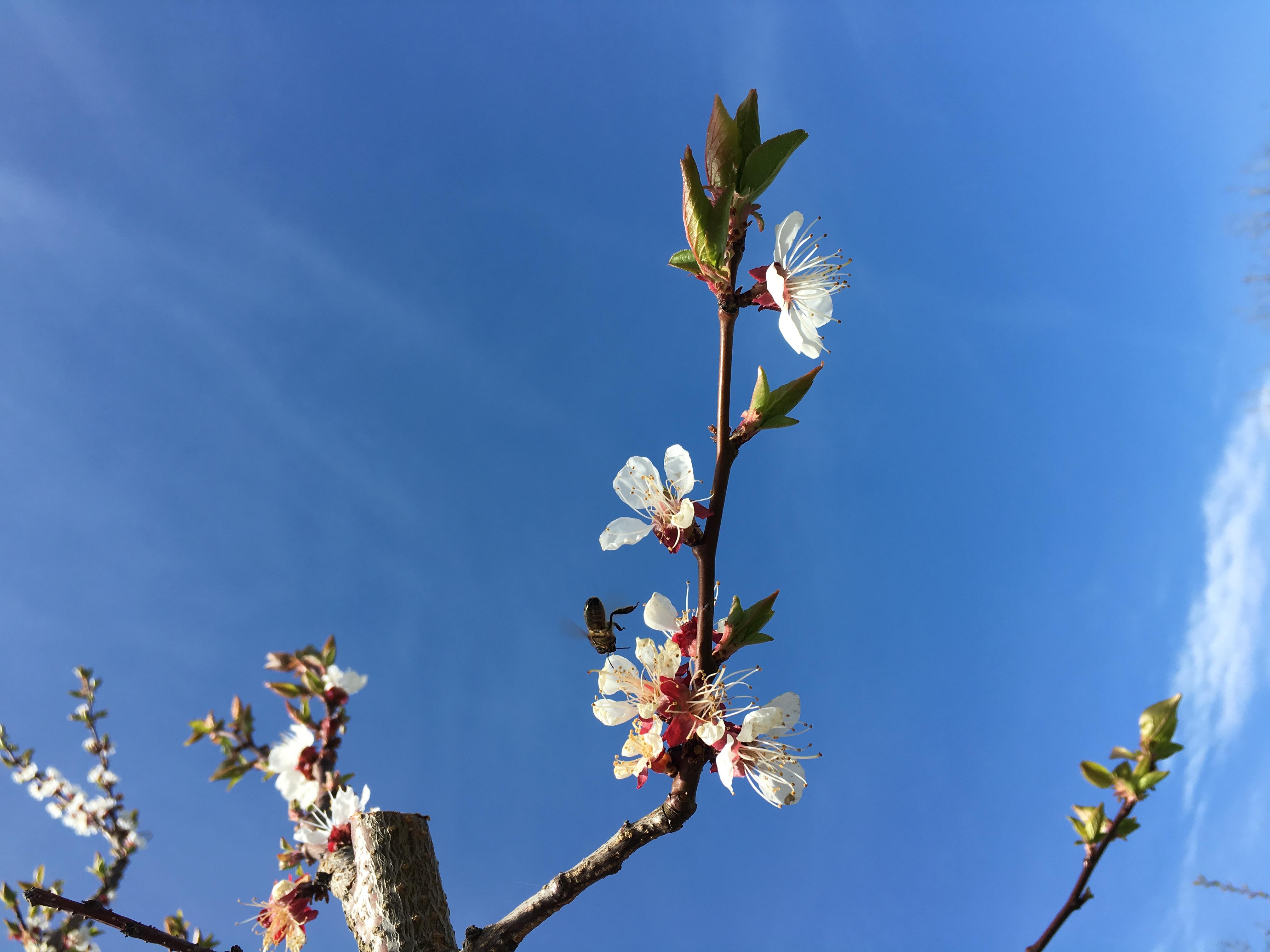 Fleur d'abricotier avec abeille