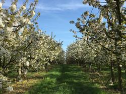 Verger cerisiers en fleurs