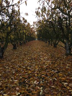 Cerisiers en automne