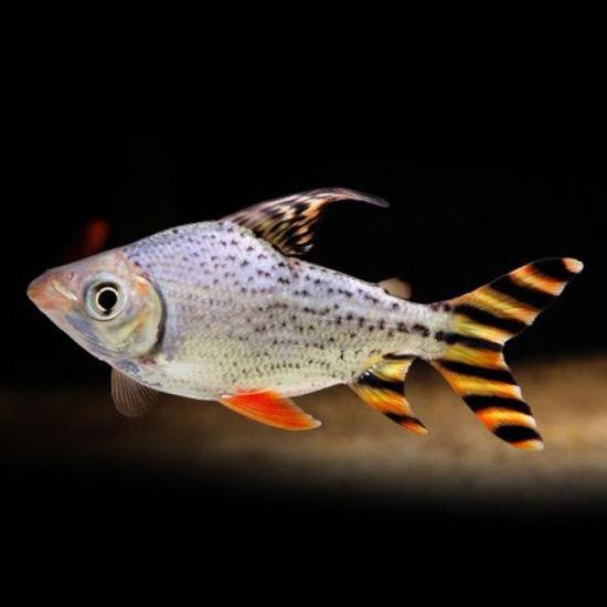 semaprochilodus-taeniurus-pm.jpg